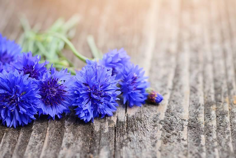ALBĂSTREAUA – floarea împărătească a Prusiei