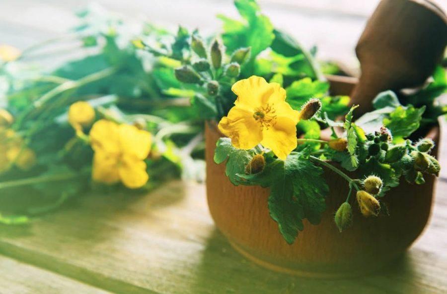 ROSTOPASCA – planta din care alchimiștii romani au vrut să obțină aur, este indicată în tratarea hepatitelor B și C, dar și în cazul ficatului gras generat de consumul excesiv de alcool